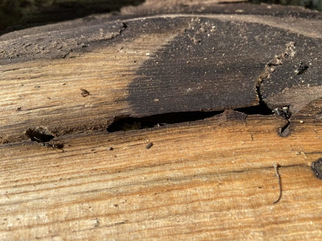firewood story ants
